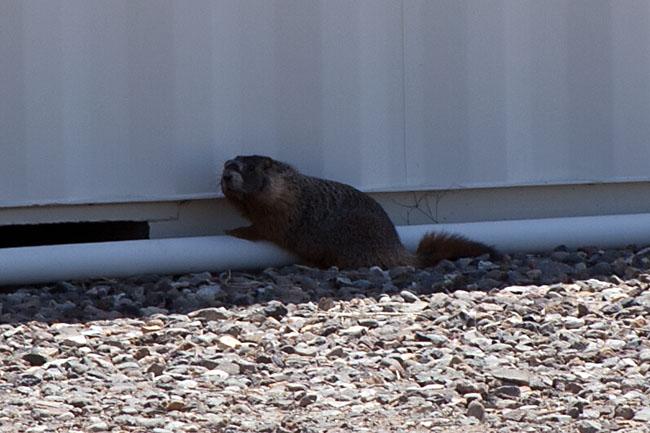 3922_Marmot in Beaver_CLSTuSs.jpg