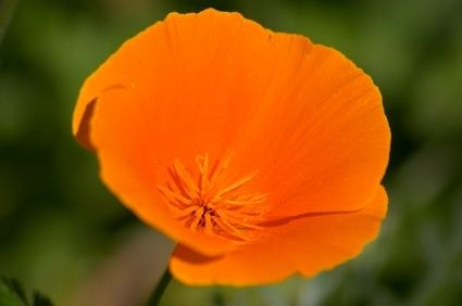 california golden poppy flower.jpg