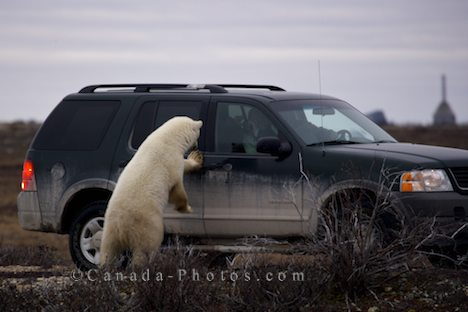 car_polar_bear.jpg