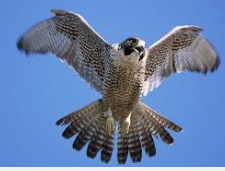 Falcon Wings.PNG
