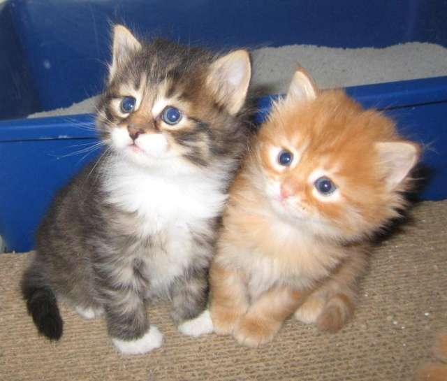 kittens-for-adoption-P34141.jpg