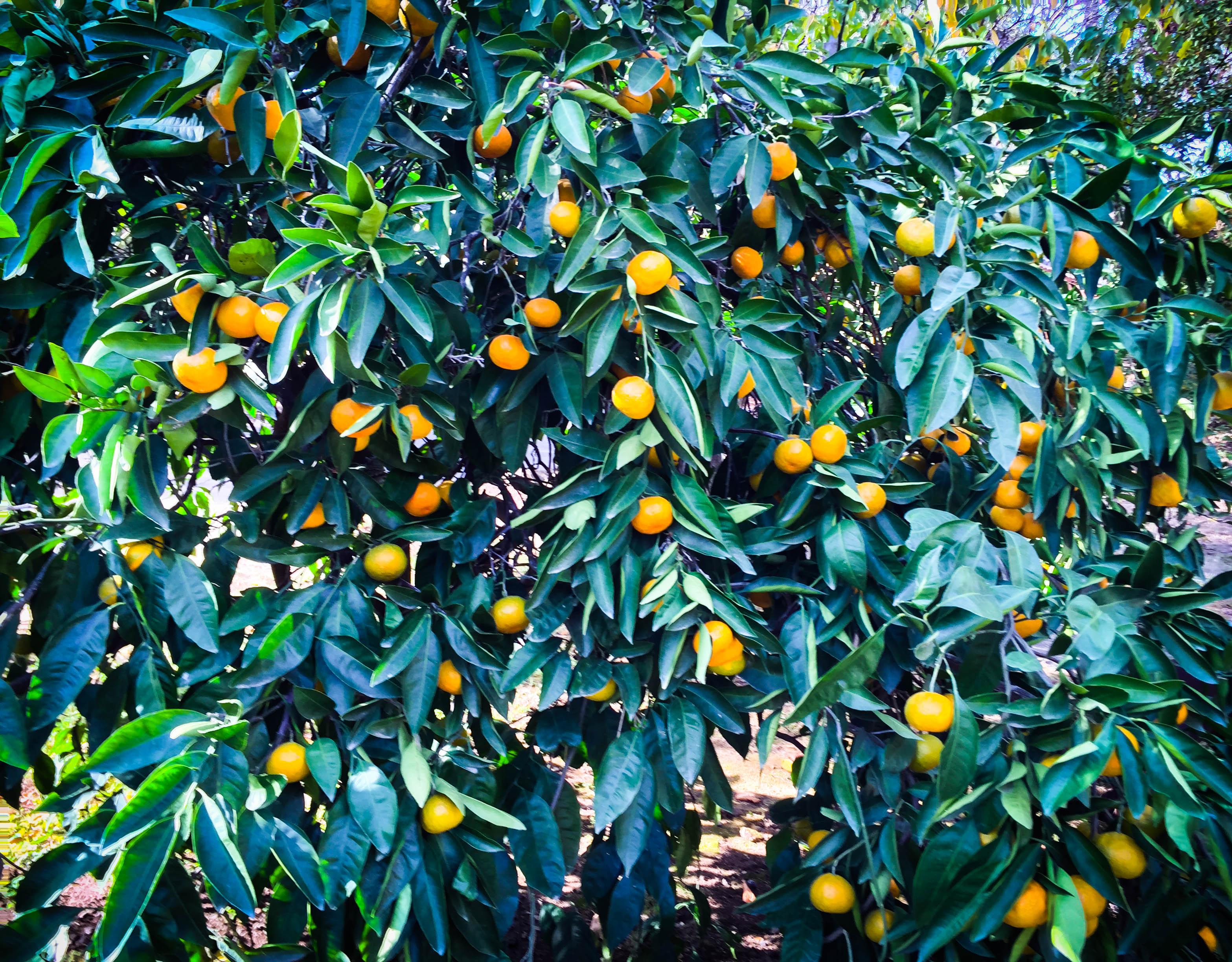 mandarins lr.jpg