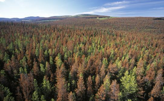 Mountain Pine Beetle.jpg