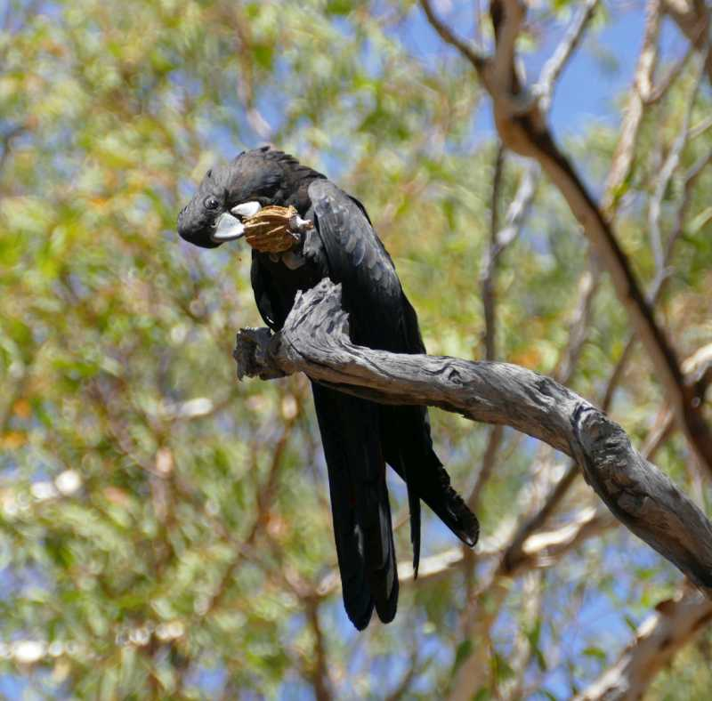 Red Tail Black Cokatoo 3 small.jpg