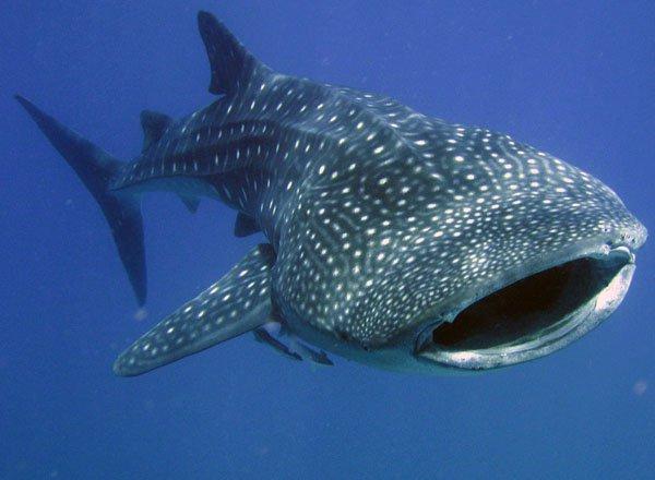 whale_shark2.jpg