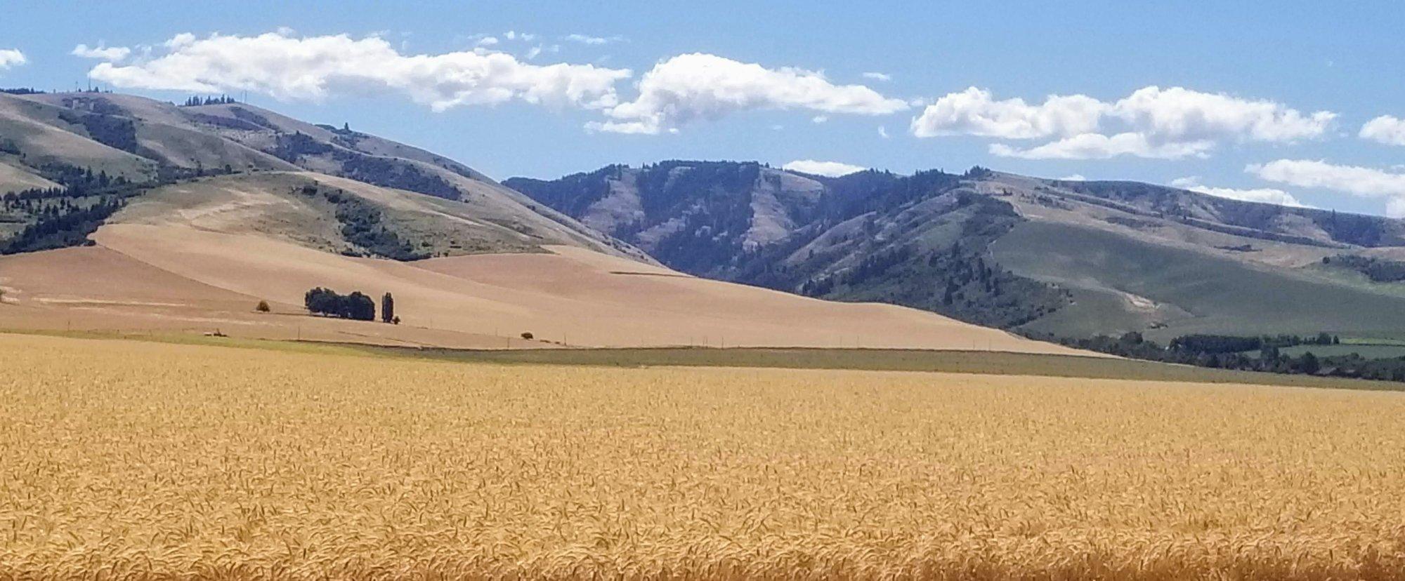 Wheat-Beauty-Shot.jpg