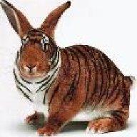 tigerbuny